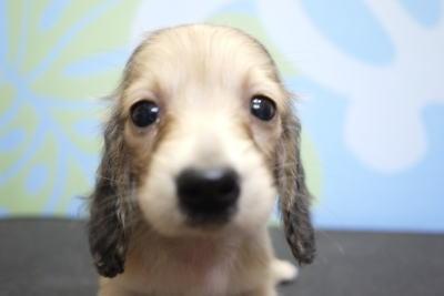 カニンヘンダックスのブリーダーの子犬、トリミング画像