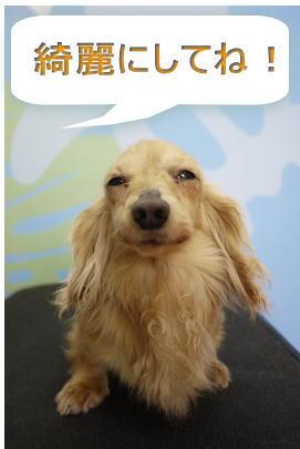 カニンヘンダックスのブリーダーの成犬、トリミング前画像