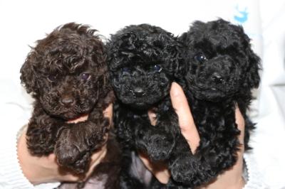 トイプードルの子犬ブラウンオス1頭ブラック(黒色)メス2頭、生後5週間画像