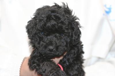 トイプードルブラック(黒色)の子犬メス、生後5週間画像