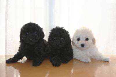 トイプードルの子犬ブラックオス1頭メス1頭ホワイトメス1頭、生後7週間画像