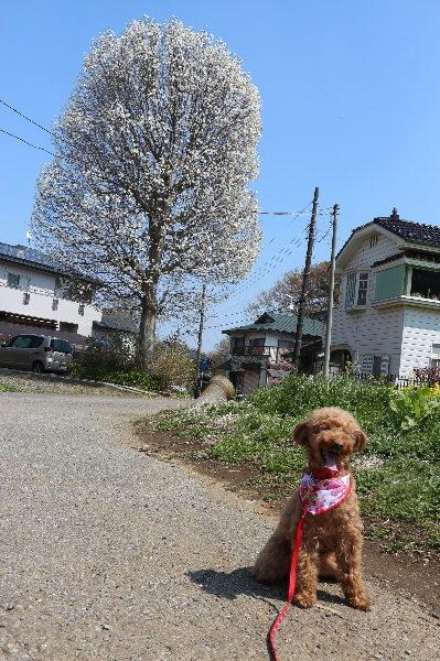 ペットホテルin千葉県、トイプードルマロンちゃんfrom鎌ヶ谷市画像