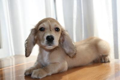 ミニチュアダックスシェイデッドクリームの子犬オス、生後2ヶ月画像