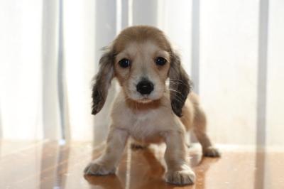 ミニチュアダックスシェイデッドクリームの子犬メス、生後2ヶ月画像
