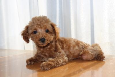 イプードルレッドの子犬オス、生後3ヶ月画像