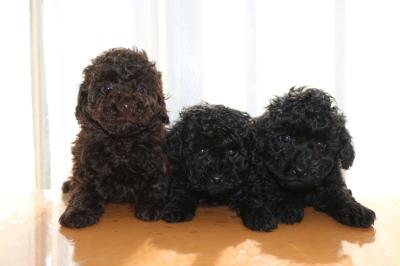 トイプードルの子犬ブラウンオス1頭ブラック(黒色)メス2頭、生後6週間画像