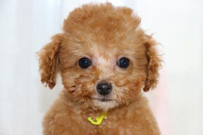 タイニーサイズトイプードルレッドの子犬メス、生後3ヶ月