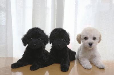 トイプードルの子犬ブラックオス1頭メス1頭ホワイトメス1頭、生後2ヶ月画像