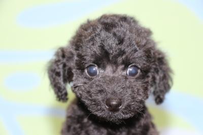 トイプードルブラック(黒色)の子犬オス、生後2ヶ月画像