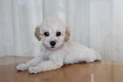 トイプードルホワイト(白色)の子犬メス、生後2ヶ月画像