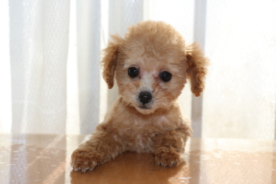 トイプードルレッドアプリコットの子犬メス、生後3ヶ月画像