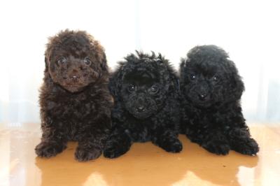 トイプードルの子犬ブラウンオス1頭ブラック(黒色)メス2頭、生後7週間画像