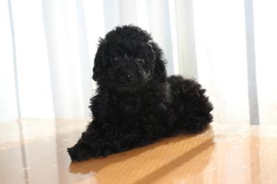 トイプードルブラック(黒色)の子犬メス、生後7週間画像