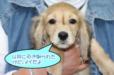 ミニチュアダックスシェイデッドクリームの子犬オス、生後2ヶ月半画像