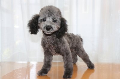 トイプードルシルバーの子犬オス、生後3ヶ月画像