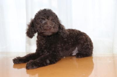 トイプードルブラウンの子犬オス、生後2ヶ月画像