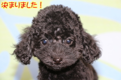 トイプードルブラックの子犬メス、生後2ヶ月画像
