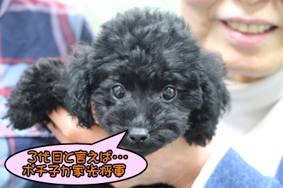 東京都墨田区トイプードルブラックの子犬メス画像
