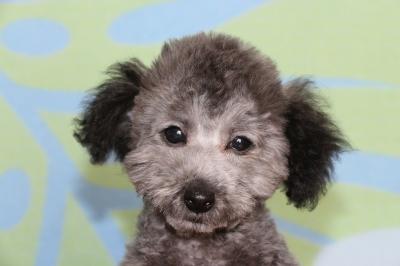 トイプードルシルバーの子犬オス、生後3ヶ月半画像