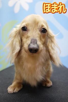 カニンヘンダックスのブリーダーの成犬、トリミング画像