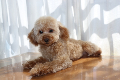 ティーカップサイズのトイプードルアプリコットの子犬メス、生後7ヶ月画像