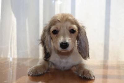 ミニチュアダックスシェイデッドクリームメス、生後3ヶ月画像