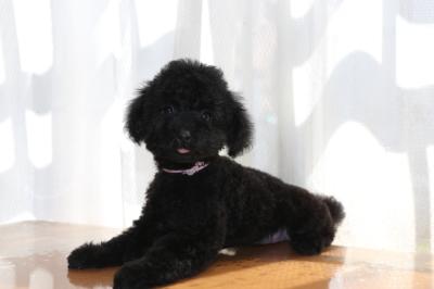 トイプードルブラック(黒色)の子犬メス、生後2ヶ月半画像