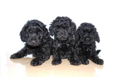 トイプードルブラック(黒色)の子犬オスメス、生後2ヶ月画像