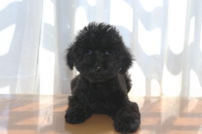 トイプードルブラックの子犬オス、生後3ヶ月画像