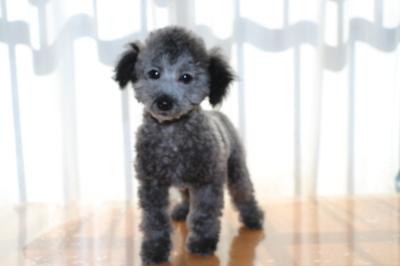トイプードルシルバーの子犬オス、生後100日画像