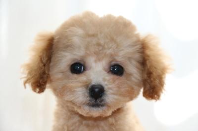 トイプードルアプリコットの子犬メス、生後4ヶ月画像