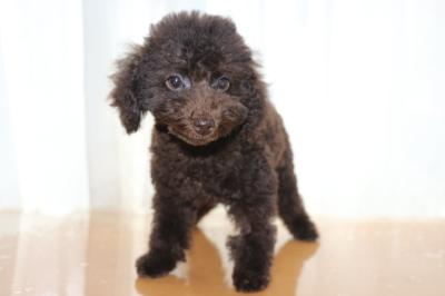 トイプードルブラウンの子犬オス、東京都渋谷区ポコ君画像