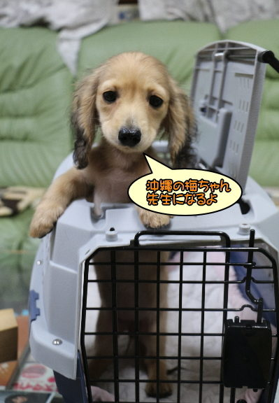 ミニチュアダックスシェイデッドクリームメスの子犬、沖縄県梅ちゃん画像
