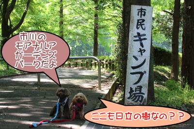千葉県のペットホテルトイプードル画像
