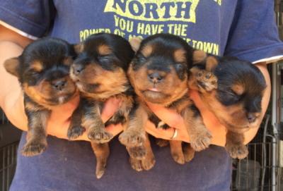 ヨークシャテリアの子犬オス1頭メス3頭、生後3週間画像