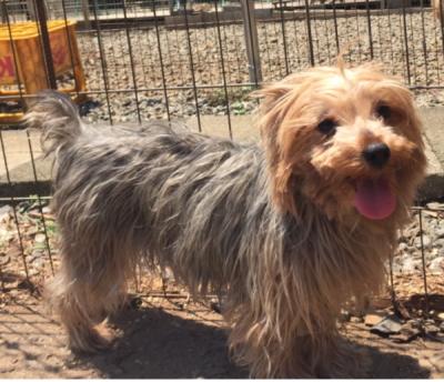 ヨークシャテリア母犬画像