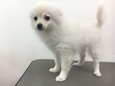 ポメラニアンホワイトの子犬メス、生後5ヶ月画像