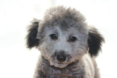 タイニーサイズトイプードルシルバーの子犬オス、生後4ヶ月画像