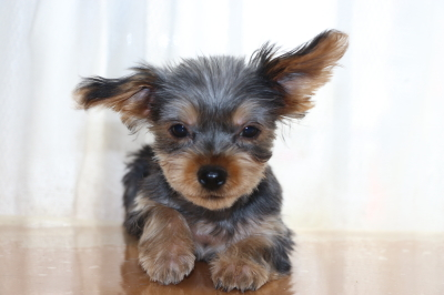 ヨークシャテリアの子犬メス、生後3ヶ月画像