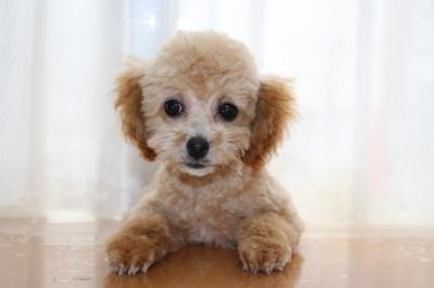 タイニーサイズトイプードルアプリコットの子犬メス、埼玉県さいたま市マロンちゃん画像