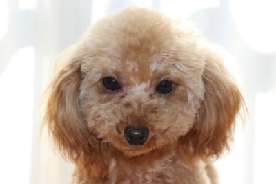 ティーカップサイズのトイプードルアプリコットの子犬メス、生後8ヶ月画像