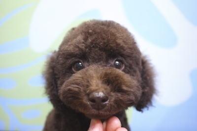 トイプードルブリーダーの子犬、トイプードル、トリミング画像