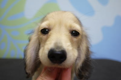 トイプードルブリーダーの子犬、ミニチュアダックス、トリミング画像