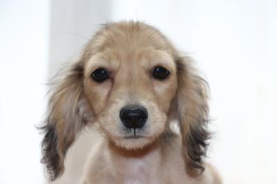 ミニチュアダックスシェイデッドクリームメス、生後4ヶ月画像