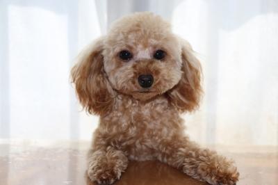 ティーカッププードルアプリコットの子犬メス、生後8ヶ月画像