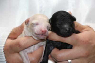 トイプードルホワイト(白色)オスシルバーオスの子犬、生後3日画像