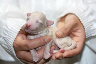 トイプードルホワイト(白色)の子犬オス、生後3日画像