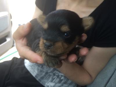 ヨークシャテリアの子犬オス、生後2週間画像