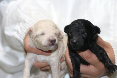 トイプードルホワイト(白色)オスシルバーオスの子犬、生後10日画像