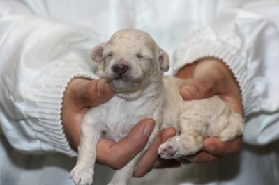 トイプードルホワイト(白色)オスの子犬、生後10日画像